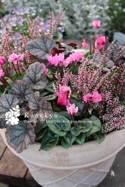 金久は大阪の泉佐野市日根野にある園芸店(ガーデニングショップ)です。珍しい花苗・植物・山野草・観葉・雑貨・園芸グッズを扱う緑のお店です。